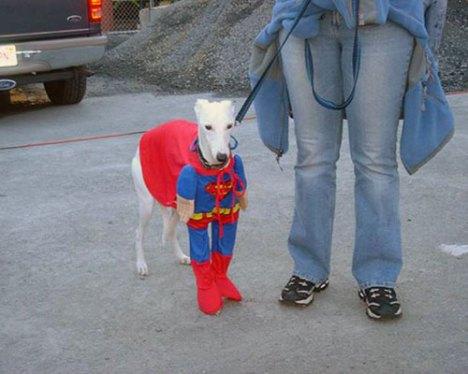 greyhound-superdog